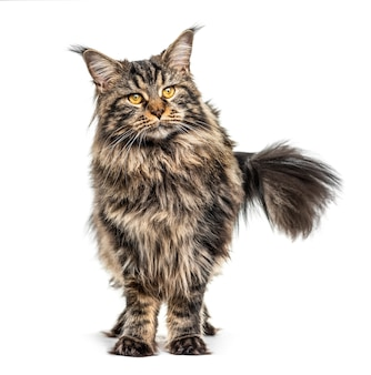 Standing maine coon, isolated on white