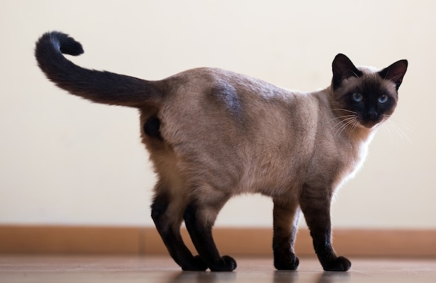 Standing young adult siamese cat