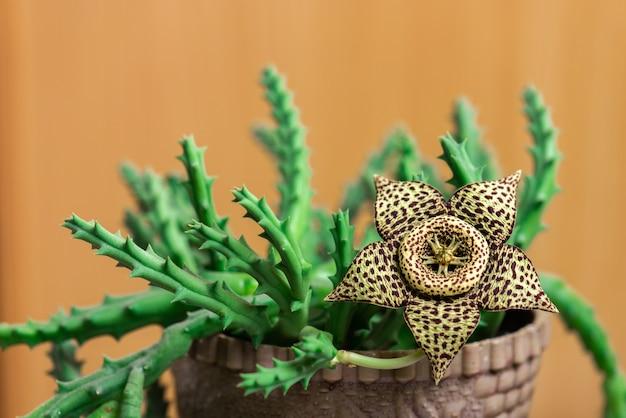 Stapelia variegata 꽃 피는