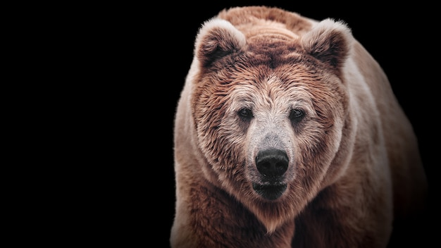 Stare of a brown bear female. macro face portrait of the most mighty beast of the world. eye to eye with severe and very dangerous predator.