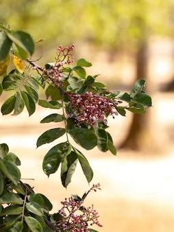 선택적 초점을 가진 averrhoa carambola 종의 스타프루트 나무 꽃
