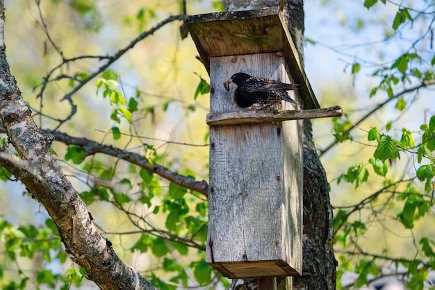 나무에 있는 나무 둥지 상자에 벌레를 데려오는 찌르레기 새
