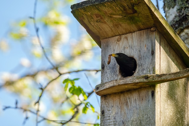 Starling bird bringing worm to the wooden nest box in the tree