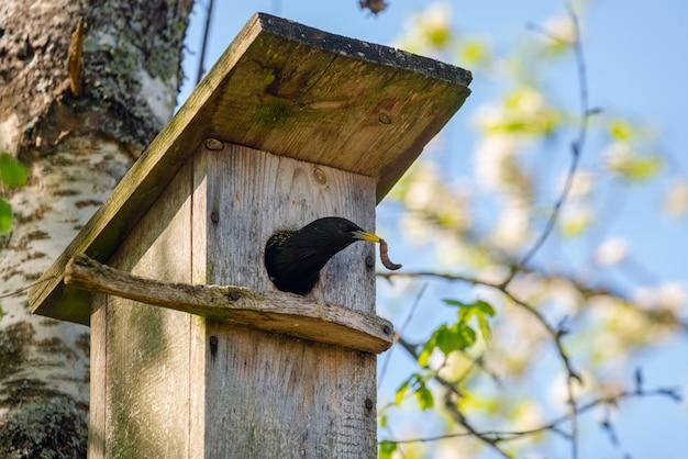 ホシムクドリ(sturnus vulgaris)が木の巣箱に虫を運びます。