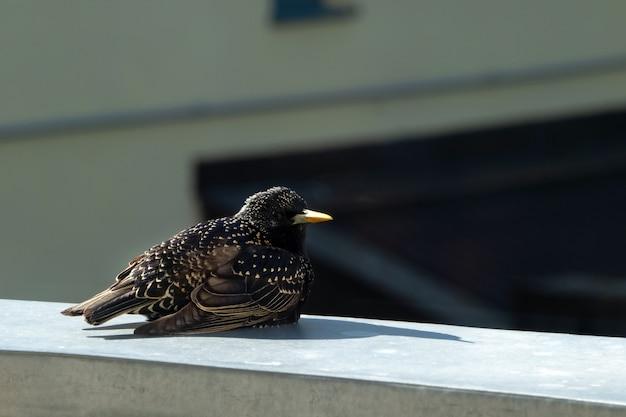 찌르레기 새 (sturnus vulgaris)는 발코니에서 금속 난간에 앉아 있습니다.