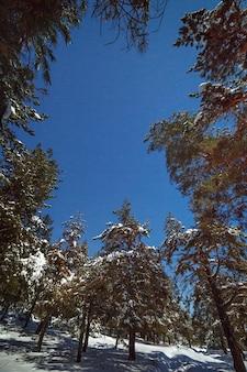 소나무 숲 위의 별이 빛나는 하늘