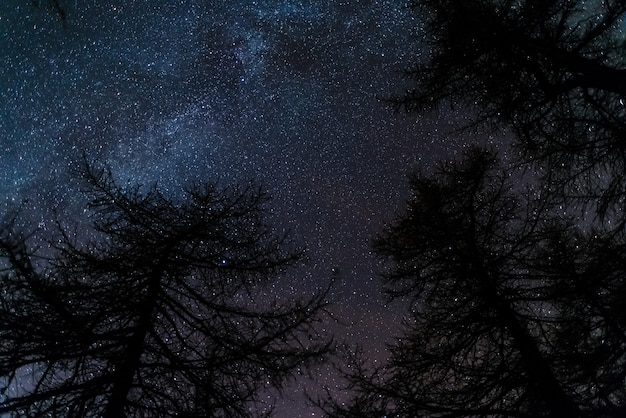 The starry sky viewed from black conifer woodland