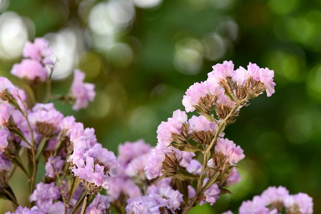 Statice or limonium flowers on natural background.