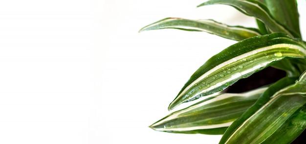 家にいてガーデニングのバナーです。水滴と緑の新鮮なドラセナマライカの花のクローズアップ。都市のジャングルのインテリアコンセプト。
