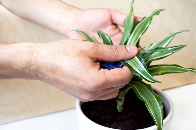 家にいて、ガーデニング。屋内の庭でドラセナの花を植えます。自宅の緑の鉢植え、都会のジャングル。花の装飾。