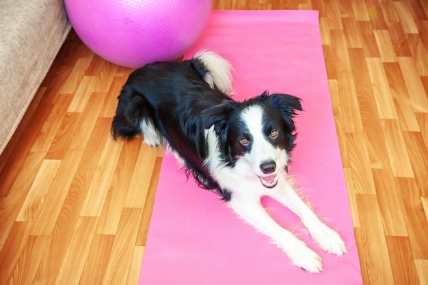 Stay home stay safe. funny dog border collie practicing yoga lesson indoor. puppy doing yoga asana pose on pink yoga mat at home. calmness and relax during quarantine. working out gym at home.