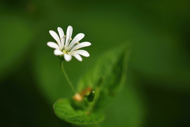 Красивый маленький весенний белый цветок. естественный цветной размытый фон с лесом. (stellaria nemo