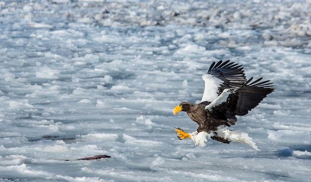 Морской орлан летит над морем. япония. хаккайдо. полуостров сиретоко. национальный парк сиретоко.