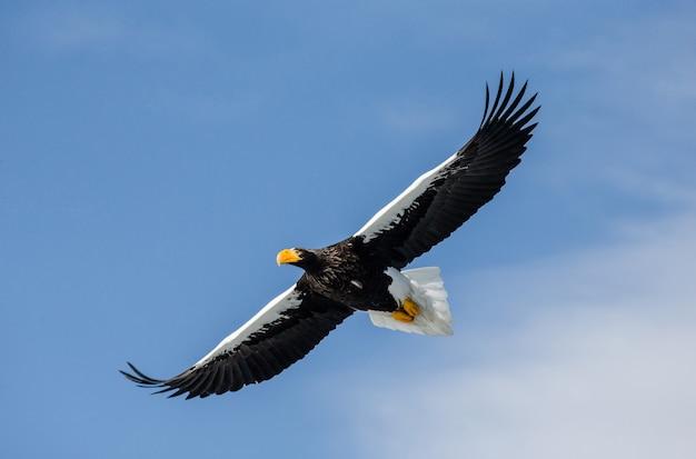 Морской орел стеллера в полете над голубым небом. япония. хаккайдо. полуостров сиретоко. национальный парк сиретоко.