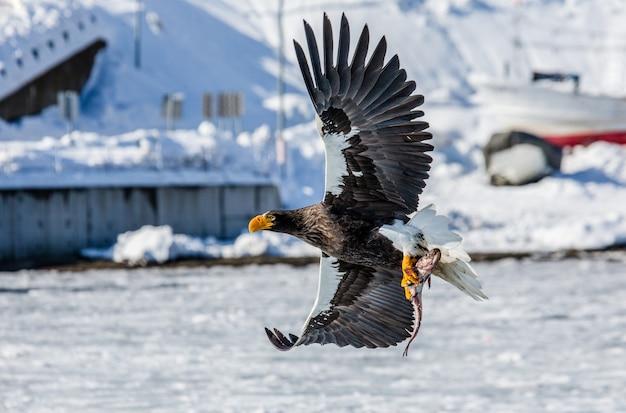 Орлан-белоплечий орлан в полете над морским портом. япония. хаккайдо. полуостров сиретоко. национальный парк сиретоко.