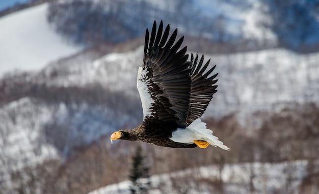 Орлан-белоплечий в полете над заснеженными холмами. япония. хаккайдо. полуостров сиретоко. национальный парк сиретоко.