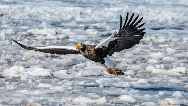 Белоперый орлан в полете с добычей над замерзшим морем. япония. хаккайдо. полуостров сиретоко. национальный парк сиретоко.