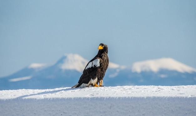 Белокожий орлан сидит на снегу на острове кунашир. япония. хаккайдо. полуостров сиретоко. национальный парк сиретоко.