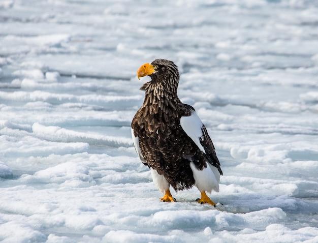 На льду сидит белоплечий орлан. япония. хаккайдо. полуостров сиретоко. национальный парк сиретоко.