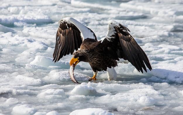 Белоперый орлан сидит на льду с добычей в когтях. япония. хаккайдо. полуостров сиретоко. национальный парк сиретоко.