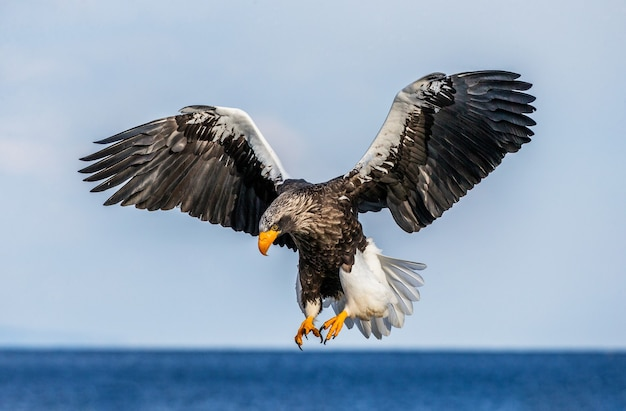 Steller's sea eagle in nature