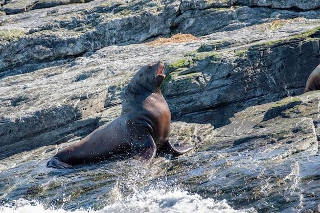 Морской белобрысый лев лает на берегу океана на скалах