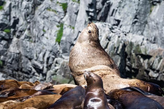 Steller sea lion(eumetopias jubatus)-レースロックス、ビクトリアbc、カナダ