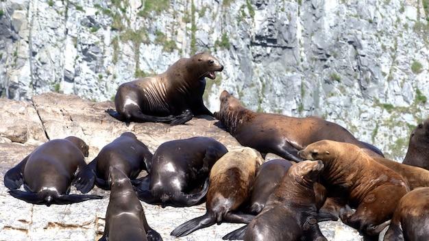 カムチャツカ半島の太平洋の岩の島に座っているトド Premium写真