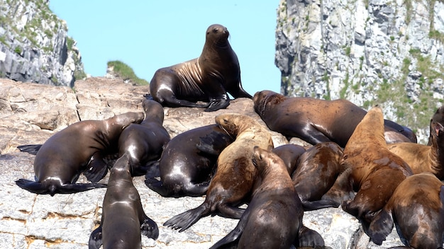カムチャツカ半島の太平洋の岩の島に座っているトド