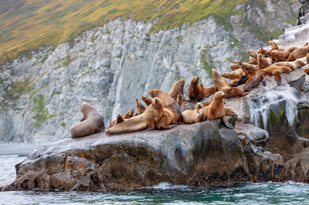 The steller sea lion sitting on a rock island in the pacific ocean on kamchatka peninsula
