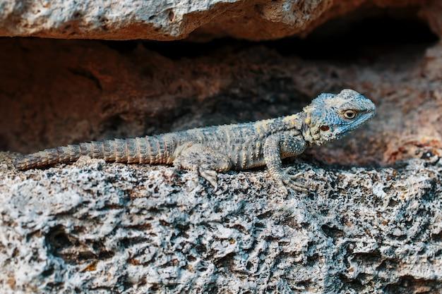Стеллион или агама-гардун - вид ящериц-агамид из монотипического рода stellagama.