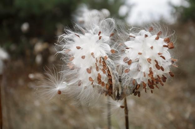 種子と綿花花序のプランテーションの茎と綿の花
