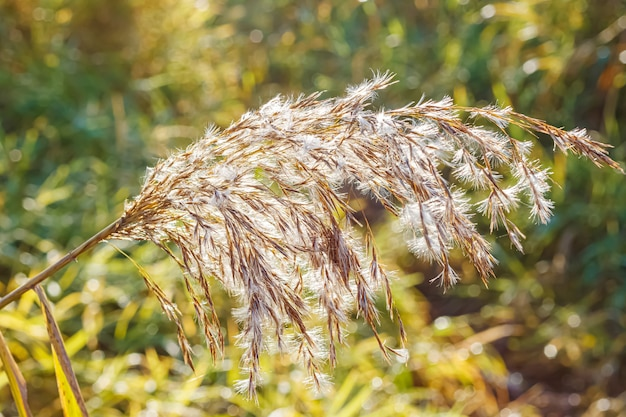 Stem of dry plant with fluffy ears in rays of rising sun