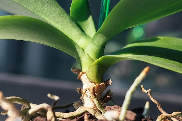 Стеблевые листья корни домашней орхидеи фаленопсис в цветочном горшке с корой сосны
