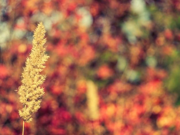 배경에 빨간색과 노란색 잎이 있는 흐릿한 나무와 덤불이 있는 마른 풀의 줄기. 가을의 색