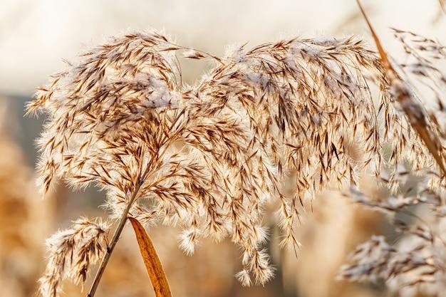 화창한 가을 아침에 햇빛에 솜털 건조 식물의 줄기