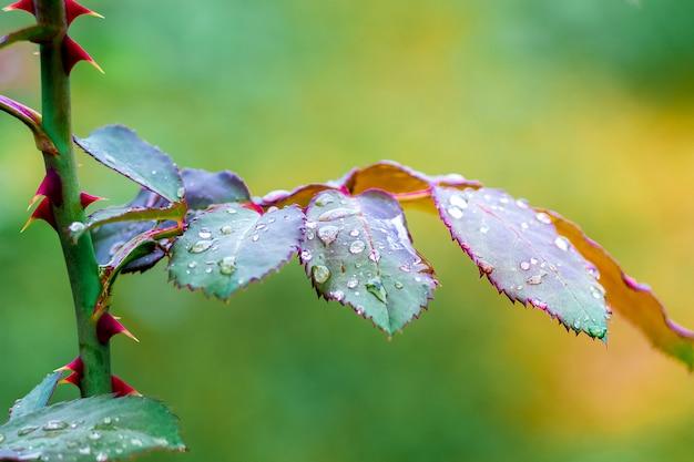 葉と雨の滴でバラの茎