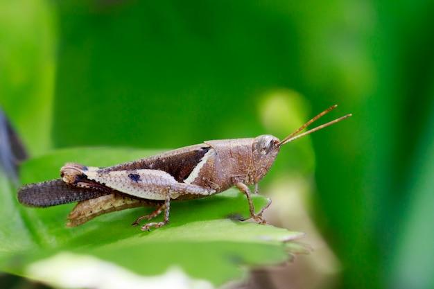 緑の葉の白い縞のバッタ(stenocatantops splendens)のイメージ。昆虫。動物。