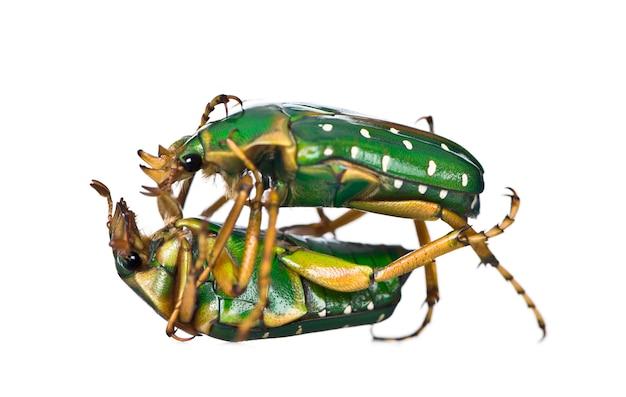 Восточноафриканский цветочный жук, изолированная stephanorrhina guttata