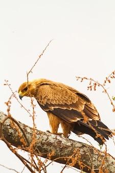 Степной орел в тарангире, танзания
