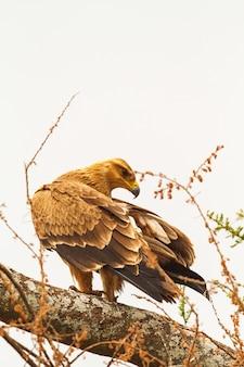 Степной орел на сухой ветке. тарангире, танзания
