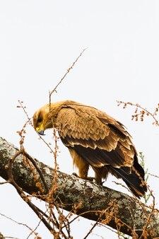 Степной орел на дереве. тарангире, танзания