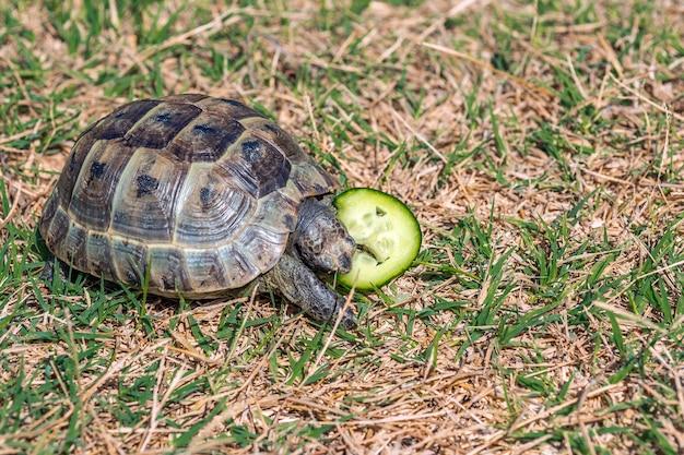 Steppe mediterranean turtle on grass
