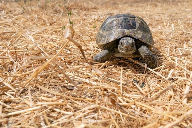 Степная средиземноморская черепаха на сухой траве