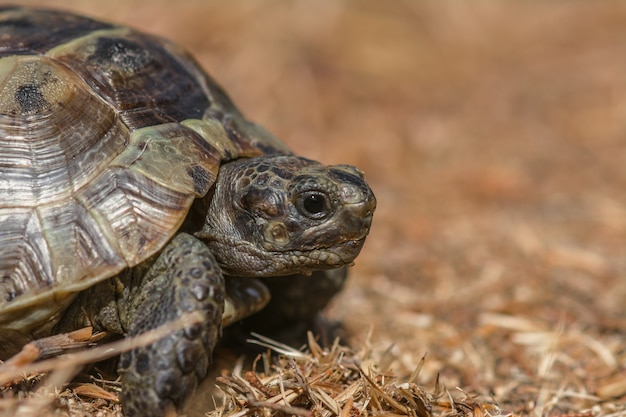 Степная средиземноморская черепаха на траве Premium Фотографии