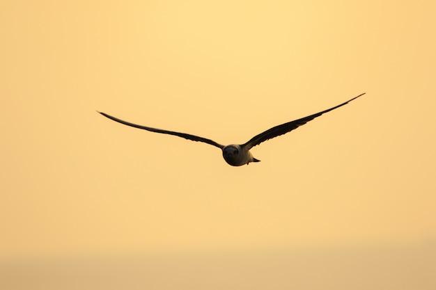 小さなアジサシが飛んでいます、小さなアジサシは小さな海鳥です。 、学名sternula albifrons、リトルアジサシは海鳥の一種です。