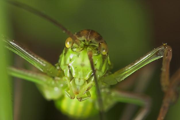 バッタ(steropleurus sp)