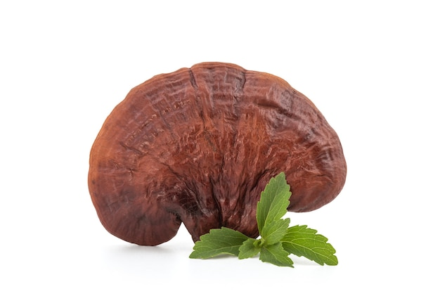 Stevia branch green leaves and reishi or lingzhi mushroom isolated on white background with clipping path.