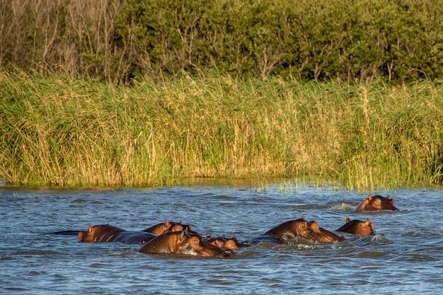 緑の野原の前で水から頭を突き出す