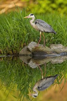 아직도 회색 헤론, ardea cinerea, 여름 석양 강둑에 바위에 서 서. 복사 공간 수직 구성에 물 서식지의 동물 군. 긴 다리와 부리가있는 새.